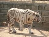 Bily tygr
